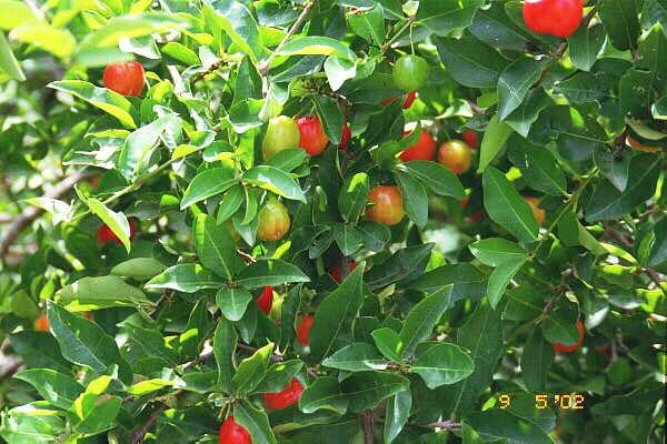 Muntingia calabura, Strawberry tree, Jam tree, Jamaican ...